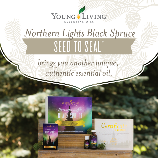Nothering Lights Black Spruce